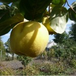 Яблуковидна