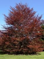 Бук лесной 'Атропуницеа'
