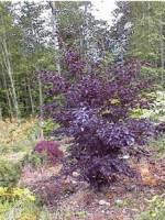 Бук лесной (европейский) 'Rohanii'