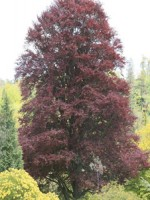 Бук лесной пурпурный, Бук Фиолетовый