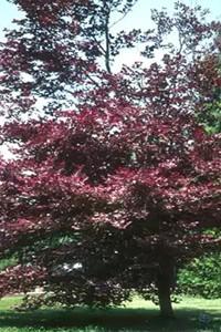 Бук лесной 'Пурпуреа Триколор