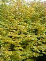 Фундук  (Лещина обыкновенная ф. краснолистная)
