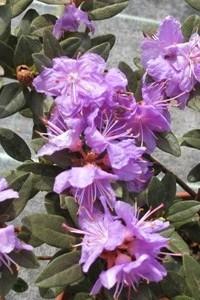 Рододендрони карликовые