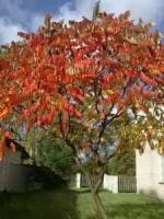Сумах пушистый, или оленерогий (уксусное дерево)